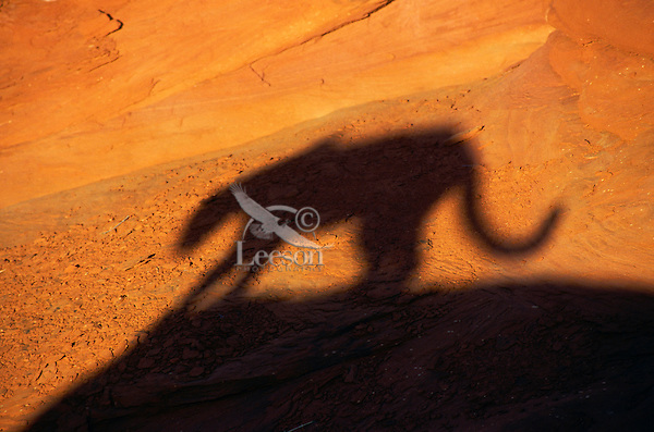 COUGAR/MOUNTAIN LION/PUMA..Shadow. Near Canyonlands National Park,.Utah. Autumn. (Felis concolor).
