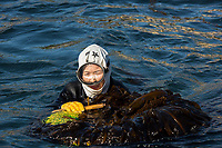 Japan, Mie Prefecture, Osatsu, Toba City. Women Ama free divers. Once pearl divers, they now collect seaweed, conch, lobster, shellfish. The women divers out in the ocean free diving for seaweed and shellfish. Model released