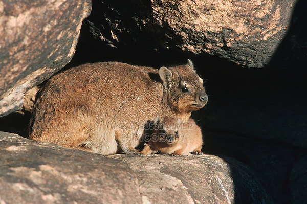Cape Hyrax Rock Hyrax (Procavia capensis), female with young on rock, Namibia, Africa