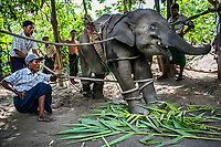 Nyaung Oo Thar, a terrified four-year-old male calf reacts as mahouts put him through a cradle taming process at Kin Thar Elephant Camp. Less than two weeks earlier, the young elephant was still with his mother among a herd that had fled floods in the upper country. As the herd came closer to human territory, crossing plantations and villages, a crowd of concerned villagers, monks, police, and forestry staff chased the elephants away. As a result, Nyaung Oo Thar was separated from his mother and captured by humans.