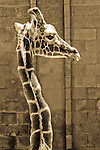 2007 Copyright  Whitney Lauren Robinson Stubbart / Lambi Arts Sepia Photography