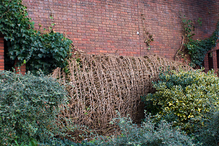 Hedera helix - falling off brick wall, English ivy vine garden problem where plant does not stay affixed to support