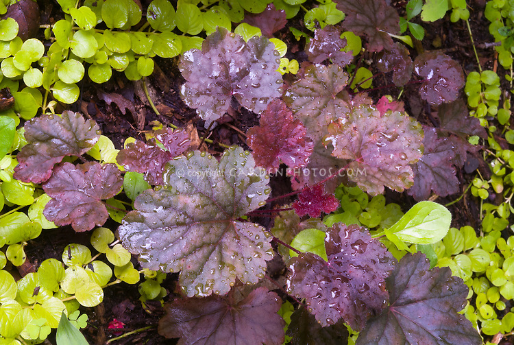 Heuchera 'Steel City' perennial purple foliage plant with groundcover Lysimachia nummularia 'Aurea'