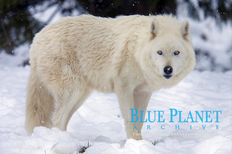 Arctic Wolf (Canis lupus arctos), adult white wolf, standing in snow