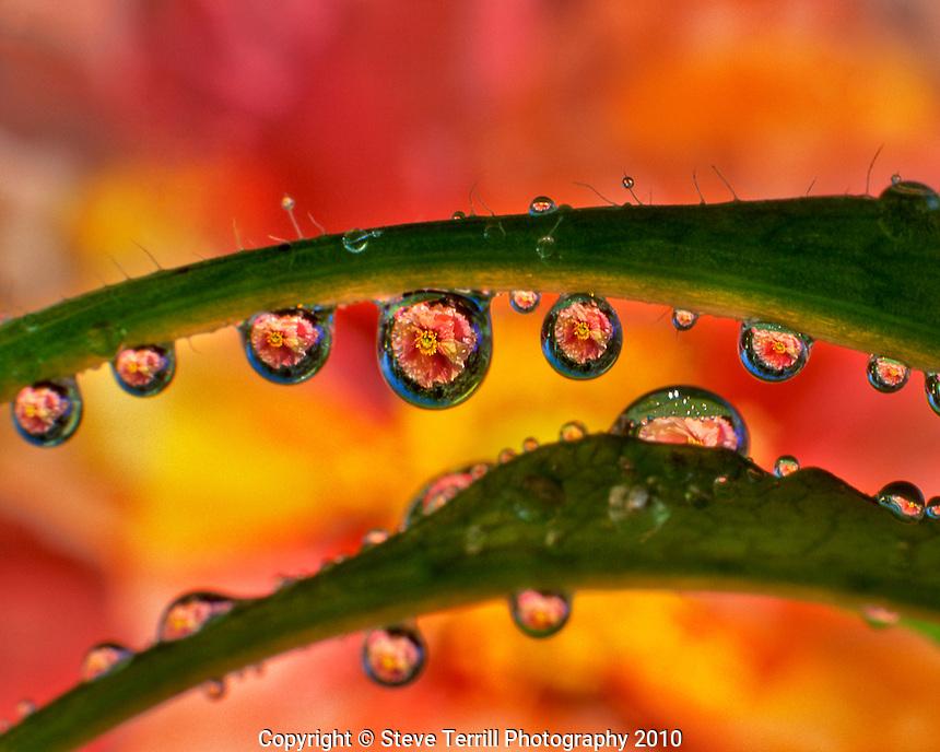 Poppy reflecting in dew drop