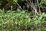 Pickerel weed wide shot many plants