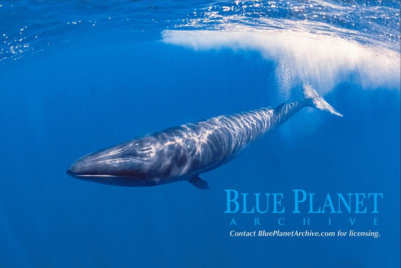 sei whale, Balaenoptera borealis, calf, endangered species, Azores, Portugal, Atlantic Ocean