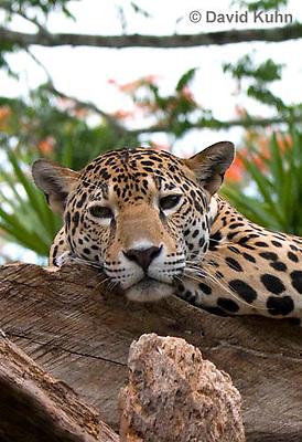 0522-1107  Goldman's Jaguar, Belize, Panthera onca goldmani  © David Kuhn/Dwight Kuhn Photography