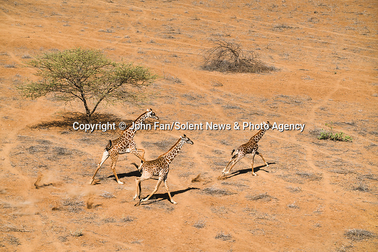 Pictured:  Giraffes cast a shadow<br /> <br /> Shadows of giraffes and zebras stretch across the ground as sunset creeps in.  The animals stroll along the sandy-coloured land, with their long shadows cast beside them in the 20 degree heat.<br /> <br /> Amateur photographer John Fan, from Chicago, USA, took the shots from a helicopter as he flew over Kenya just before the sun set.  SEE OUR COPY FOR DETAILS.<br /> <br /> Please byline: John Fan/Solent News<br /> <br /> © John Fan/Solent News & Photo Agency<br /> UK +44 (0) 2380 458800