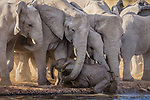Elephants Rush To Rescue A Careless Calf Which Had Rather Too Much To Drink!