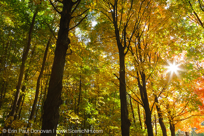 Canopy of a hardwood forest (Maple trees) in during the autumn months in scenic New Hampshire USA.