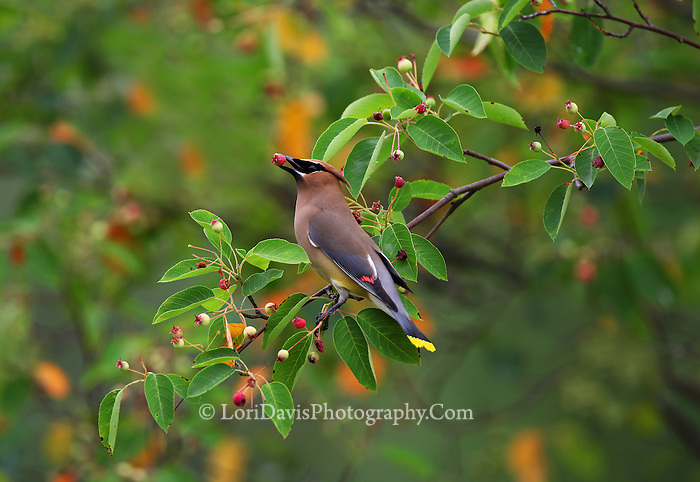 Cedar Waxwing with Berry  #B119