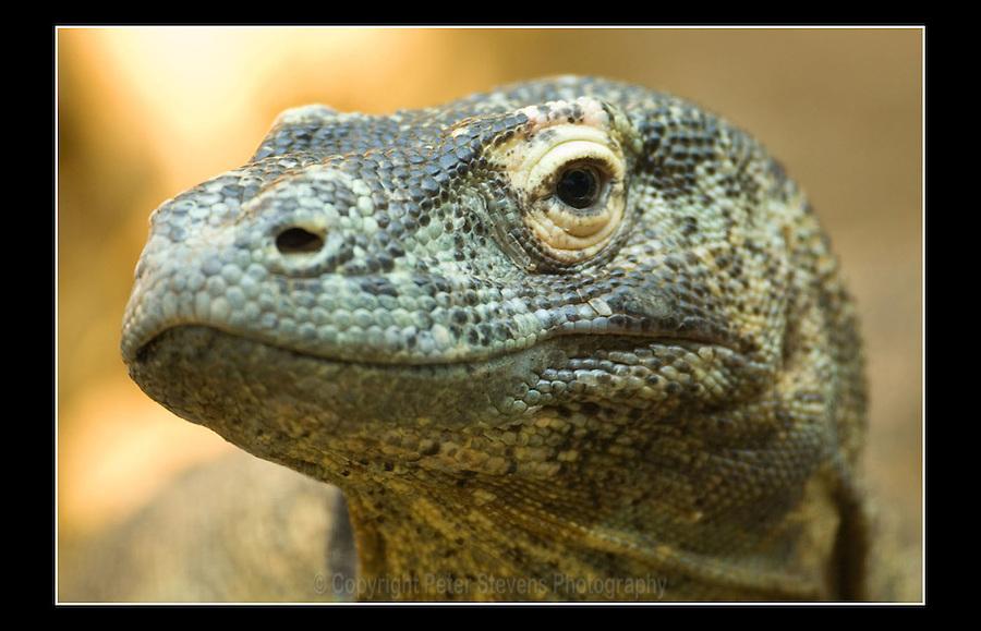 Komodo Dragon (Varanus komodoensis) - Zoological Society of London - 1st May 2007