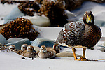A Falkland steamerduck and ducklings, Falkland Islands