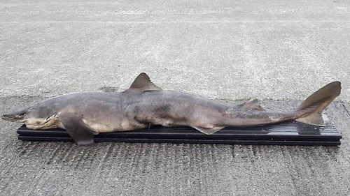 The remains of the shark found in the River Erne at Belturbet, Co Cavan in mid September