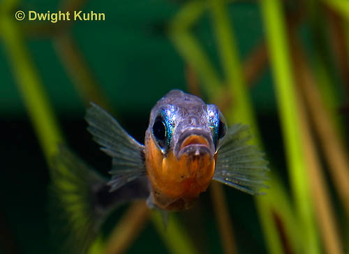 1S14-529z  Male Threespine Stickleback, Mating colors showing bright red belly and blue eyes, close-up of face, Gasterosteus aculeatus,  Hotel Lake British Columbia
