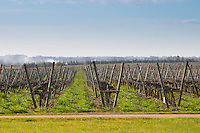 A view over the vineyard with vines trained in lyre fashion with two wooden supporting posts and metal wires. Bodega Juanico Familia Deicas Winery, Juanico, Canelones, Uruguay, South America