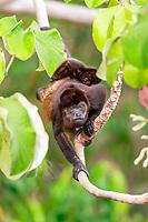 mantled howler, Alouatta palliata, aka golden-mantled howling monkey, resting on a tree, Manuel Antonio National Park, Costa Rica