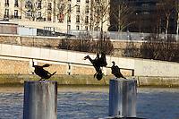 This is a group of Great Cormorants -Phalacrocorax carbo- that was used to stay on these pillars along the Seine river, near the mouth of the Canal of Saint Martin. Here one of them is just arriving and it is quarreling for the position to occupy (Paris, 2010).<br /> <br /> Questo è un gruppo di cormorani -Phalacrocorax carbo- i quali erano soliti stare su questi piloni lungo la Senna, vicino allo sbocco del Canale di San Martino. Qui uno dei tre è appena arrivato, e sta litigando per la posizione da occupare (Parigi, 2010).