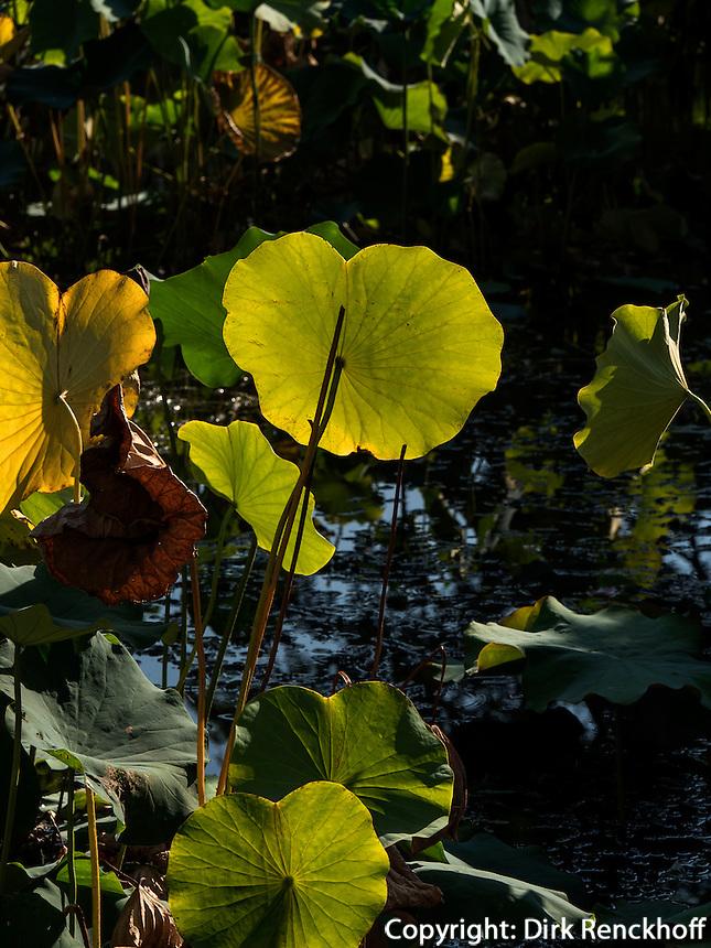 Lotos im BeiHai Park, Peking, China, Asien<br /> Lotus  in Beihai Park, Beijing, China, Asia