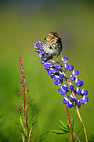 Savannah Sparrow perched on Lupine, Kenai Peninsula, Chugach National Forest, Alaska