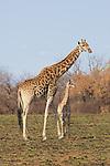 Giraffe And Calf