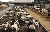 Dairy cows in a feed passage.