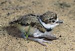 2725-FP Killdeer chick Charadrius vociferus vociferus, in Stillwater, Minnesota