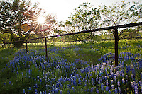 Spring Bluebonnets grow along a rusty metal fence on Willow City Loop Road