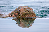 Pacific walrus, Odobenus rosmarus divergens, swimming in the water, Wrangel Island, Far Eastern Federal District, Russia, Arctic Ocean
