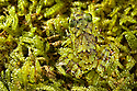 Rot-hole tree frog (Platypelis grandis) juvenile camouflaged against moss. Masoala Peninsula National Park, north east Madagascar.