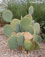1202-0852  Mojave Prickly Pear Cactus, Opuntia phaeacantha  © David Kuhn/Dwight Kuhn Photography