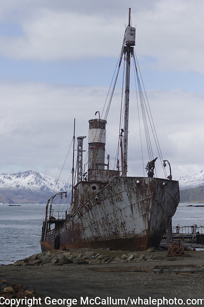 Whaling catcher Petrel beached on land  at Former whaling station at Grytviken. South Georgia islands, Southern Ocean, Antarctica.