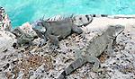 8 August 2009: The Green Iguana (Iguana iguana) is found throughout the island of Bonaire. These three (3) iguanas taken along the coral coastline at Captain Don's Habitat on the island of Bonaire, in the Netherlands Antilles. Mandatory Credit: Ed Wolfstein Photo