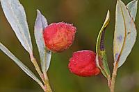 Weidengallenblattwespe, Weidengallen-Blattwespe, Weidenblattwespe, Weiden-Blattwespe, Galle an Kriechweide, Salix repens, Pontania collactanea