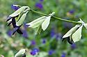 Salvia discolor, mid October.
