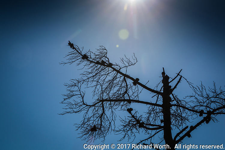 Dead limbs and bare branches silhouetted against a clear blue sky with a sunburst overhead.  Lake Chabot Regional Park.