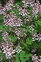Indigostrauch, Indigo-Strauch, Indigo, Indigofera amblyantha, Pink-flower Indigo, Pink-flowered indigo, Chinese Indigo
