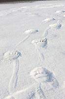 Polar bear prints in the snow on a barrier island in the Beaufort Sea, Arctic National Wildlife Refuge, Alaska.