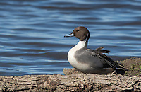 Male Northern Pintail, Anas acuta, at Colusa National Wildlife Refuge, California