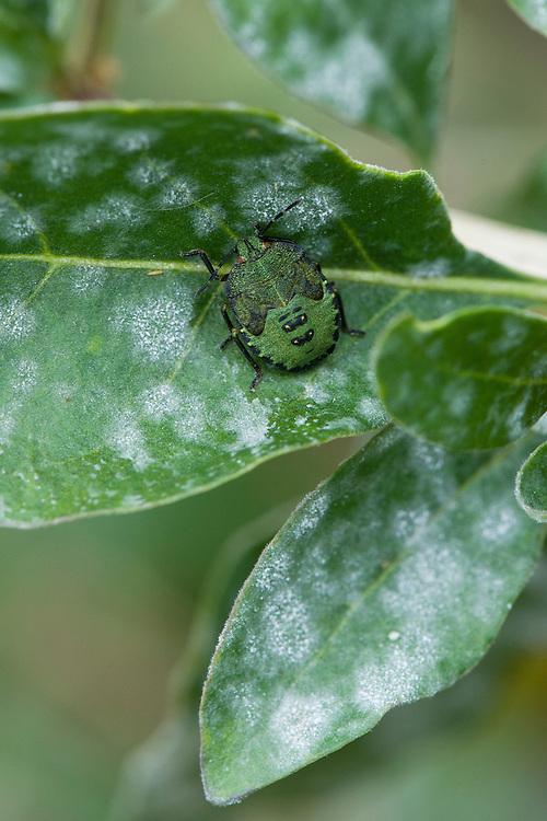Green Shield Bug or Stink Bug nymph (Palomena prasina), goji berry bush, late September.