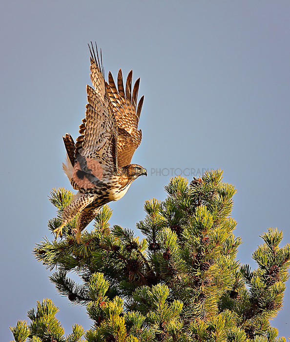 Juvenile Red Tailed Hawk taking off from  top of pine tree in Yellowstone National Park