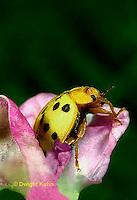 1C31-001a  Mexican Bean Beetle - adult - Epilachna varivestis