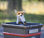 A young female fox of a litter gets to grips with London life by Ashley James