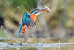 Pictured: The kingfisher emerging from the water with a fish<br /> <br /> Water cascades off a kingfisher following a successful dive into a pool to catch its prey.  The bird made a rapid 5ft dive from directly above the water in Kirkcudbright in Dumfries and Galloway, Scotland.<br /> <br /> After catching fish, the kingfisher flew back up to its perch with its prey in its beak.  SEE OUR COPY FOR DETAILS.<br /> <br /> Please byline: Steven Kovacs/Blue Planet ARC/Solent News<br /> <br /> © Steven Kovacs/Blue Planet ARC/Solent News & Photo Agency<br /> UK +44 (0) 2380 458800
