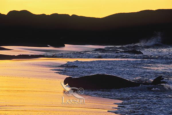 Northern Elephant seal (Mirounga angustirostris) bull coming ashore at sunrise.  CA.  Winter.