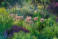 Plant tapestry with seedheads of ornamental onions (Allium), grasses, perennials, and shrubs in waterwise drought tolerant mixed border demonstration garden at Bellevue Botanical Garden, near Seattle Washington