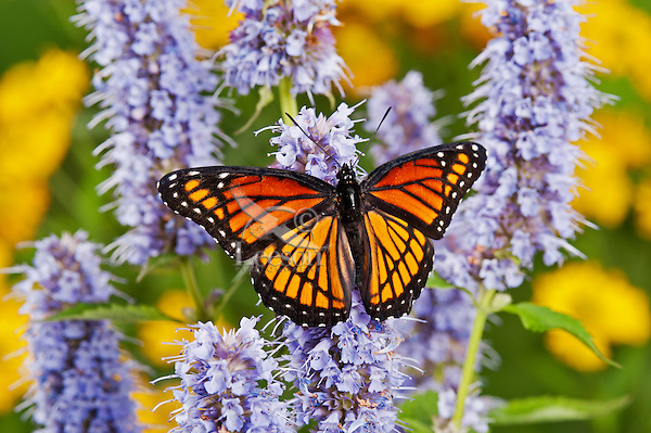 Viceroy butterfly (Limenitis archippus) on Anise hyssop flowers. North America.