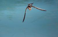 Barn Swallow (Hirundo rustica), Dinero, Lake Corpus Christi, South Texas, USA