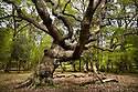 English Oak Tree (Quercus robur) in woodland, New Forest, Hampshire, UK.